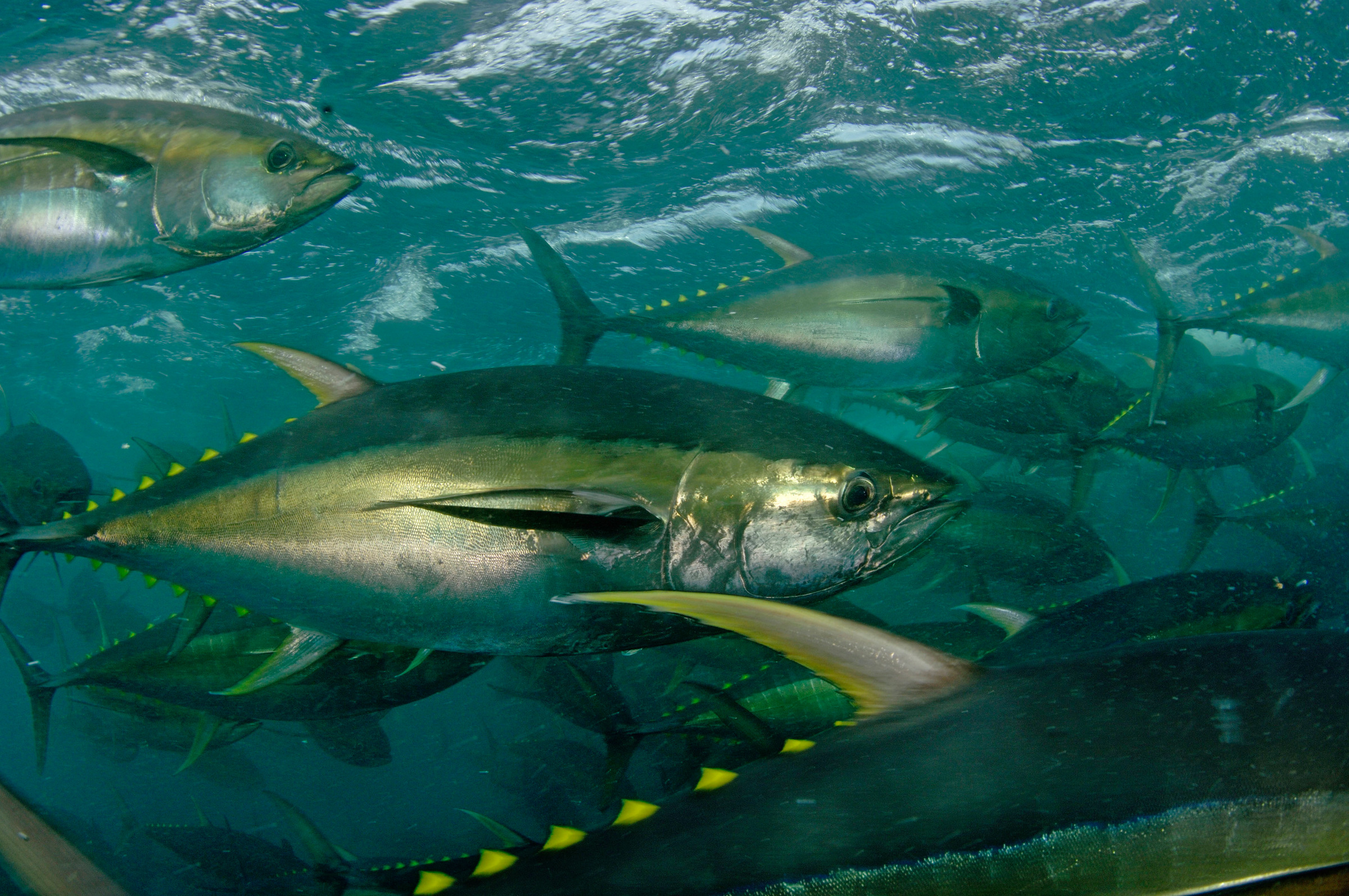 Yellowfin Tuna (Thunnus albacares) are cage-fed to improve the quality of their meat. La Paz, Mexico.
